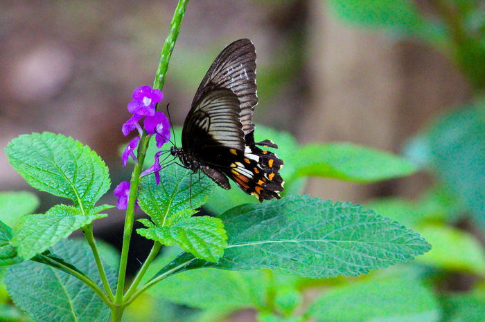 Common Black and color tale Butterfly sunbathing on a purple flower Black Butterfly Butterfly Butterfly On Flower Butterfly With Colorfu Butterfly With Green Background Butterfly ❤ Common Butterfly Fast Shutter Speed Indian Butterfly Purple Flowers Purple ♥