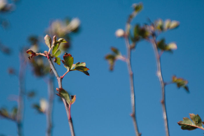 Clear Sky Beauty In Nature Branch Clear Sky Close-up Day Flower Flower Head Fragility Freshness Growth Hawthorn Leaf Nature No People Outdoors Plant Sky Spring Springtime Tree