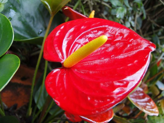 🍃 Red Nature Flower Growth Plant Anthurium Anthurium Flower Antúrio Anthurium Andraeanum Red Flower Flowers Of My Garden Flores Flor Vermelha Plants Plantas