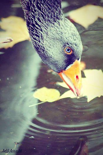 Narcissism Reflets Water Animals Streetohotography SPAIN Belgium. Belgique. Belgie. Belgien. Etc. Duck Bleueyes Picture