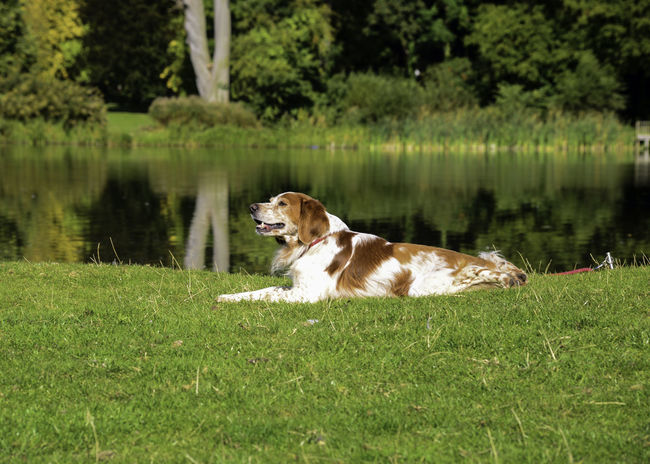 Brittany dog in front of lake Breton Brittany Brittany Spaniel Animal Themes Day Dog Domestic Animals Epagneul Breton Grass Lake Mammal Nature No People One Animal Outdoors Pets Tree Water