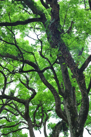 Backgrounds Beauty In Nature Branch Building Materials Camphor Tree Day Essential Oil Forest Fuel Green Green Color Growing Up Growth Huge Low Angle View Nature Negative Ions No People Oil Outdoors Plant Tree Tree Trunk Up White Flowers