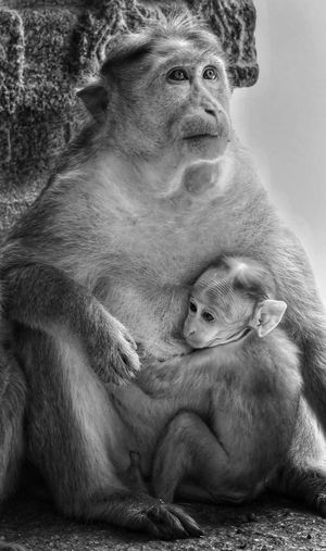 Close-up of monkey with infant sitting on rock