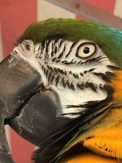 Pappagalloallafuga Vertebrate Close-up Animal No People Animal Themes Bird Animal Representation