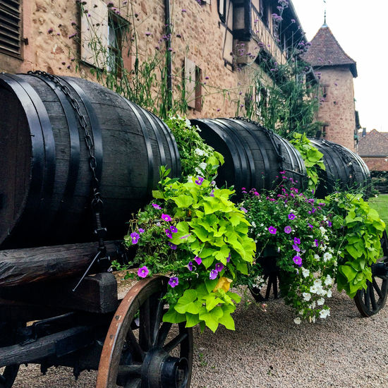 Old wine barrels outside village walls in Riquewihr, Alsace, France Alsace City Day Flower Pot France Garden Gardening No People Old Buildings Plant Pot Plant Potted Plant Potted Plants Riquewihr Tourism Town Travel Village Wall Walls Wine Barrel Wine Barrels Wood