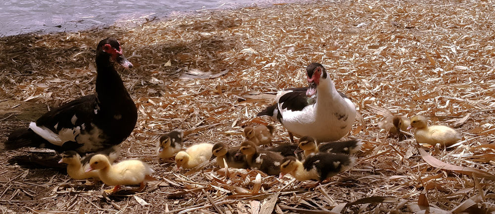 Animal Family Animal Themes Animal Wildlife Animals In The Wild Baby Duck Bird Domestic Animals Duck Goose Hojas Secas Nature Outdoors