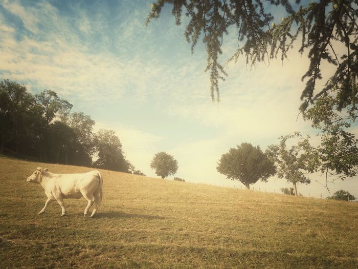 Countryside Country Cow Tree Rural Scene Sunset Agriculture Full Length Field Mountain Sunlight Forest Sky Farm Animal Livestock Tag Calf Domesticated Animal Tag Livestock Pasture Animal Pen Grazing
