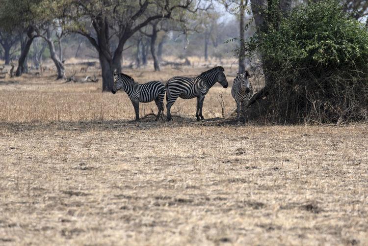 Zebra walking in a field