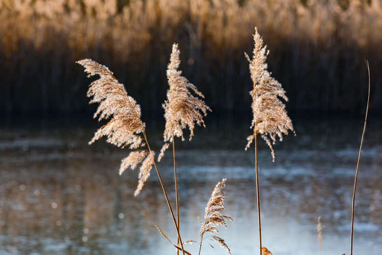 Close-up of dry plants against calm lake