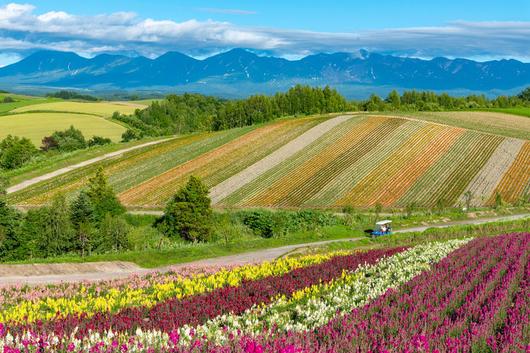 Vivid flowers streak pattern attracts visitors. Panoramic colorful flower field Shikisainooka Shikisai-no-oka Shikisai No Oka Biei Hokkaido Japan Flower Beautiful Blooming Blossom Colorful Field Freshness Garden Hill Mountain Nature Season  Rural Scene Countryside Trees Blue Sky Skyline Cloud - Sky Natural Scenery Scenics Summer Landmark Landscape Backgrounds Sunny Sunlight Tulip Tulips Vivid Environment Color Multicolored Fragrant Spring Charming Vacations Famous Place Rainbow Land Panorama LINE Clear Sky Day