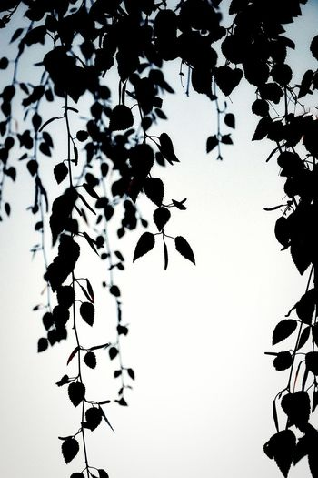 Silhouettes From My Perspective Birch Leaves Birch Tree Sky And Trees Silhouette Photography Creative Editing 18-105mm Imperfectly Perfect No People Creative Shots Looking Up Fine Art Photography