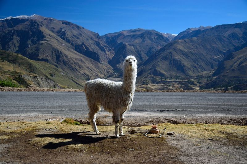 Llama standing against mountains