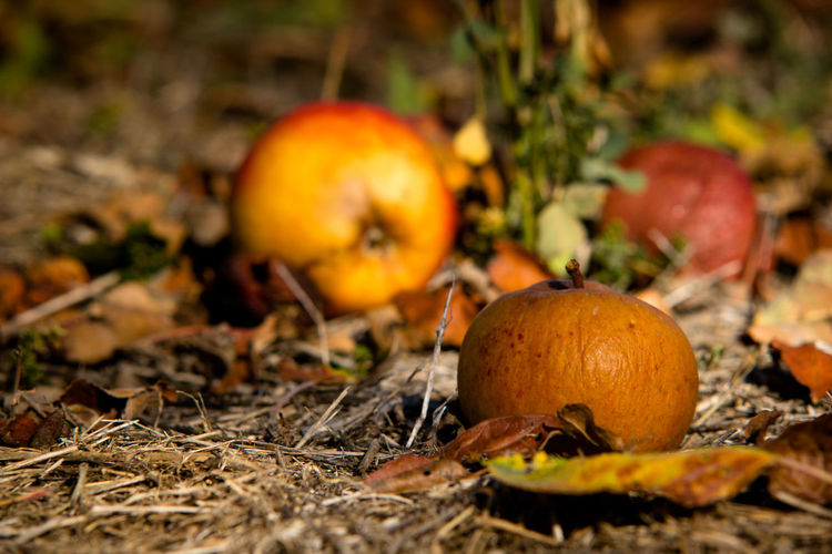 Close-up of pumpkins on field during autumn