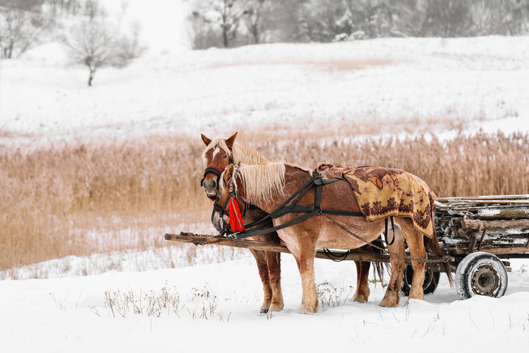 View of horse on snowy field during winter