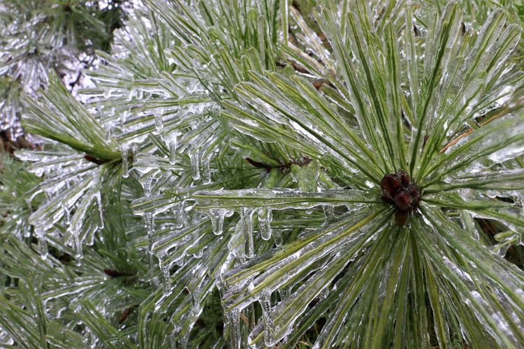 Icicles Icicles Up Close Ice Storm Nature Winter Cold Temperature Plants No People Close-up Green Color Full Frame Plant Backgrounds Pine Tree Day Beauty In Nature Coniferous Tree Tree Outdoors Needle - Plant Part