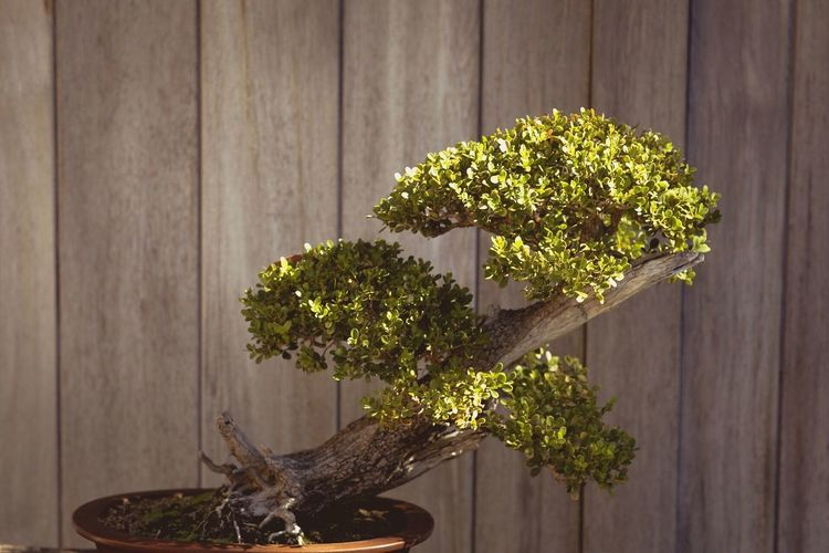 Growth Plant Wood - Material No People Bonsai Tree Nature Potted Plant Table Green Color Close-up Indoors  Leaf Day Tree Garden Faded Nature Growth