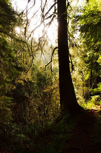 Oregon Tree Growth Nature No People Day Outdoors Forest Sunlight Beauty In Nature Branch Tree Trunk Sky Grass