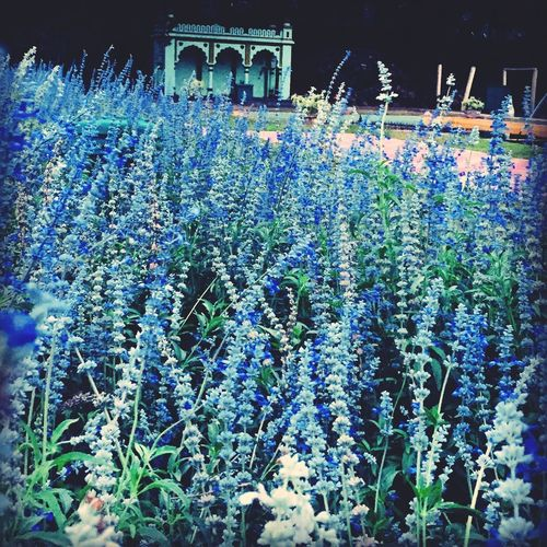 Colorful Indigo Violet Blue Purple Green Lovely Beauty Decor Close-up Color Flower Plant Flowering Plant Nature Text Multi Colored Abundance Growth No People Decoration Night Outdoors Communication Fragility Beauty In Nature Vulnerability  Field Blue Celebration