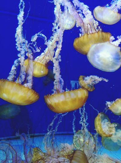 Aquarium Aquariumofthepacific Jellyfish Beautiful Underwater Underthesea