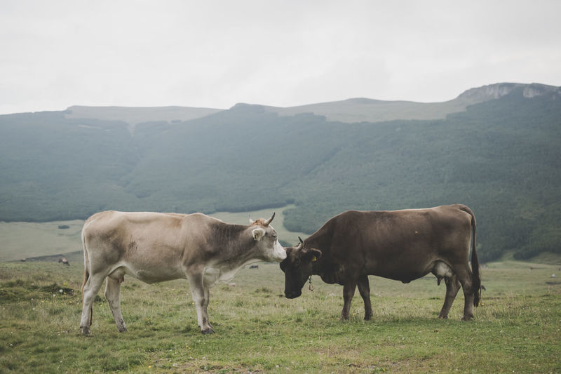 Side view of cows on grassy field against mountains
