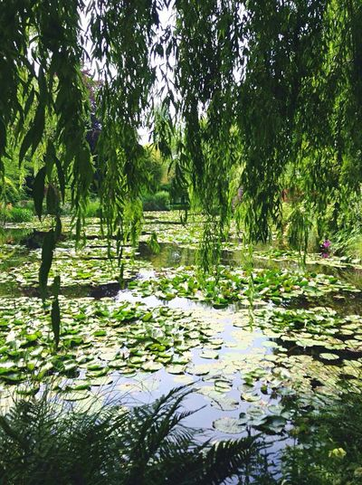 I giardini di Monet- the Monet gardens Monet Monet House France Giverny Les Jardins De Monet Trip Photo 2015  Trip Beautiful Art Nature Landscape Waterlilies Gardens Lake Water