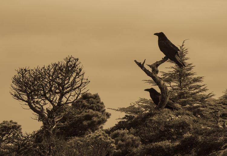 Ravens perched