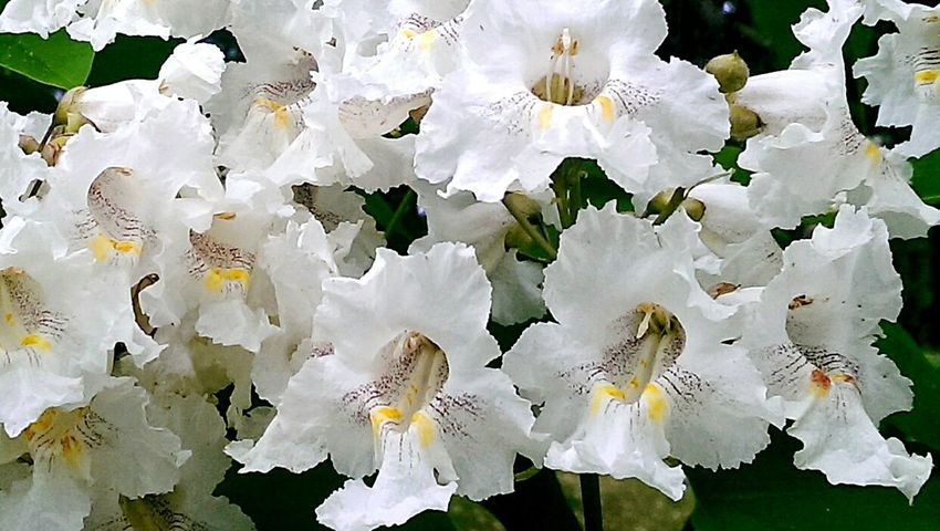 A beautiful Catalpa tree that smells AMAZING! 😊 I'd love to have one in my yard. No Filter Mother Nature Norcal Nature_collection Cemetery_shots Trees Flowers Blooming Spring Sweet Smell