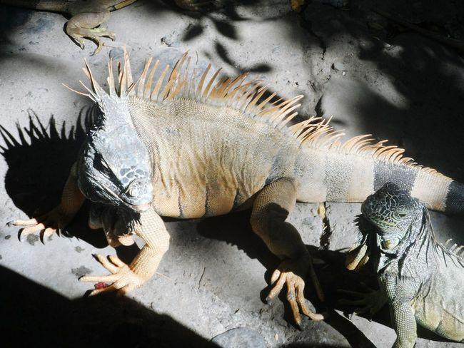 Iguanas Exploring New Ground Mexico Y Su Naturaleza Ixtapa Beach Travelling