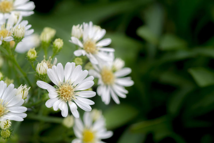 Flowering Plant Flower Plant Fragility Vulnerability  Freshness Beauty In Nature Growth Petal White Color Close-up Inflorescence Flower Head Nature Focus On Foreground No People Day Daisy Selective Focus Outdoors Pollen Cutter Flower