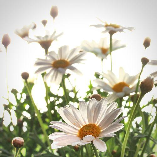 Light And Shadow Spring Flowers White Flower Spring Simplicity Bokeh EyeEm Best Shots Flowerporn