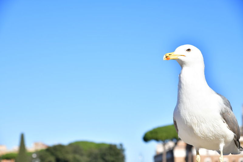 Close-up of seagull perching against clear blue sky
