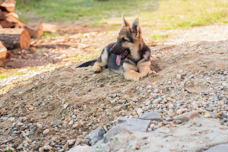 Best friend Doggy Love Playing With The Animals Attachment Best Friend Best Friends Canine Day Dog Dog Love Domestic Domestic Animals German Shepherd Mammal No People One Animal Outdoors Pets Playful Pups Portrait Puppy Rest Selective Focus Vertebrate Wait For Me