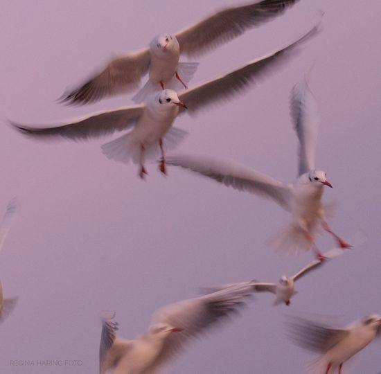 Ostsee Ostseeküste Rügen Rügen Lovers Rügenliebhaber Rügen Landscape Rügen Insel Möwe Möwen Möwen Portrait Möwen Am See Seagull Seagulls Seagulls And Sea SEAGULL IN FLIGHT Seagulls In Flight Seagull Serenity Seagul Seagulls In The City Seagull And Sky Seaguls Seagull, Birds, Flight, Fly, Hover, Feathers, Wings, Beaks, Span, Traveling Home For The Holidays