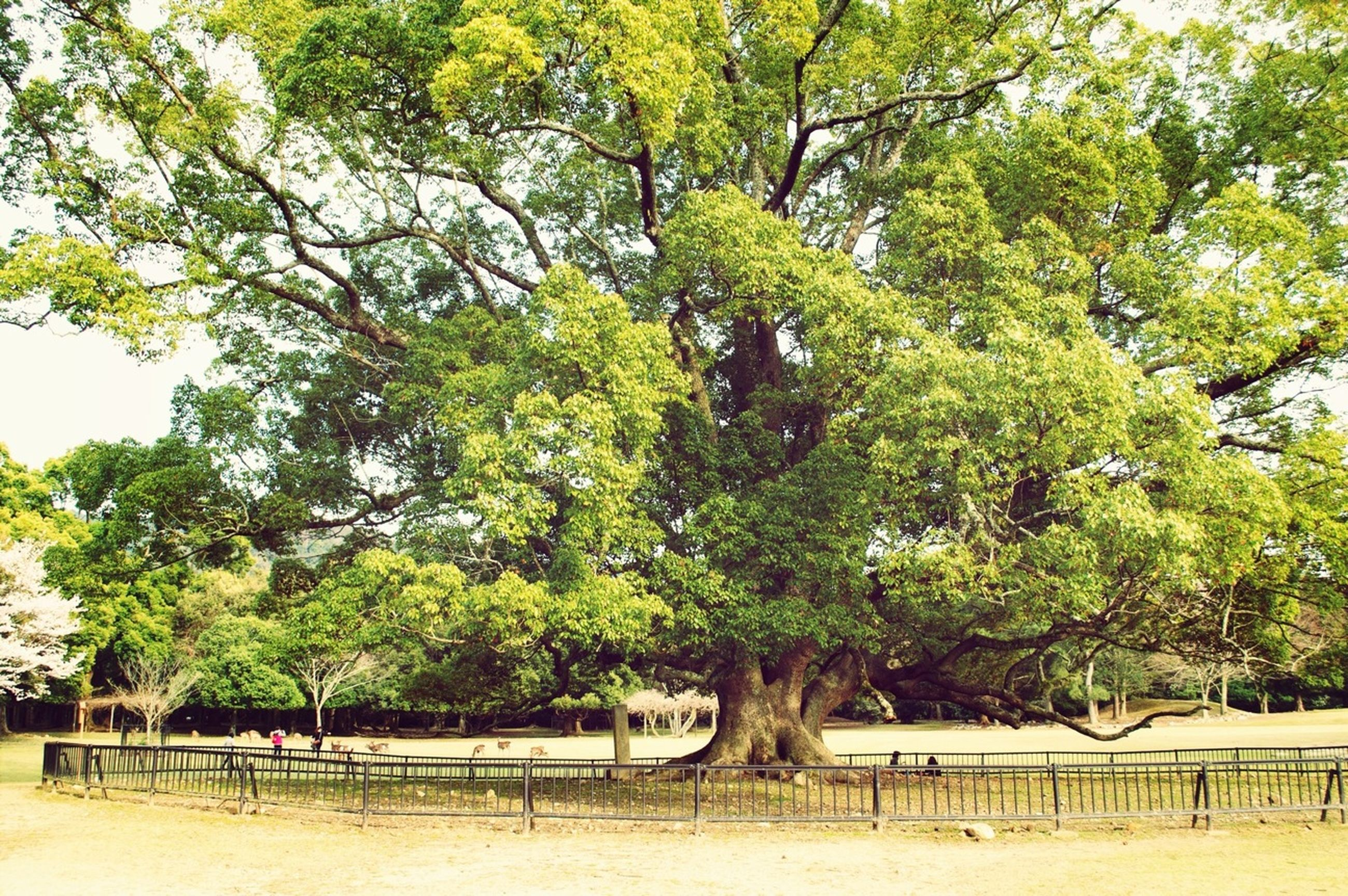 tree, growth, tranquility, green color, branch, nature, tranquil scene, beauty in nature, park - man made space, day, tree trunk, fence, scenics, bench, landscape, sunlight, outdoors, field, growing, lush foliage