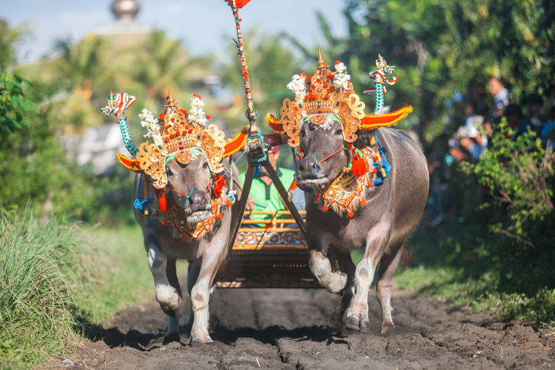 Makepung, traditional bull race in bali, indonesia.