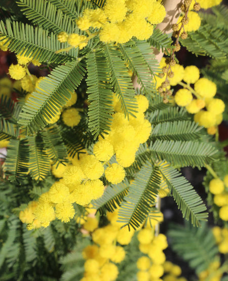 background of yellow mimosa flowers symbol of international day of women Frauenkampftag IWD IWD2016 International Women's Day Internationaler Frauentag Journée Internationale Des Femmes Mimosa Flowers Festa Della Donna Festa Delle Donne Flowers International Woman Day International Womens Day Iwd 2018 Iwd2k18 Mimosa Mimosa Background Mimosa Flower Mimosa Pudica Mimosa Tree Mimosa Trees Mimosas Mimose Women's Rights Yellow ınternational Women's Day