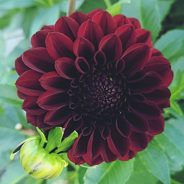 Obsessed! Flower The Week On EyeEm EyeEm Flower Botany In Bloom Flower Head Magnificent Deep Dark Red Dahlia Dreamy Petal Plant Green Leaves Eyeem Backgrounds Blooming Wine Red Background Sultry Red Outdoors Close-up Beauty In Nature Red Beauty Beautiful