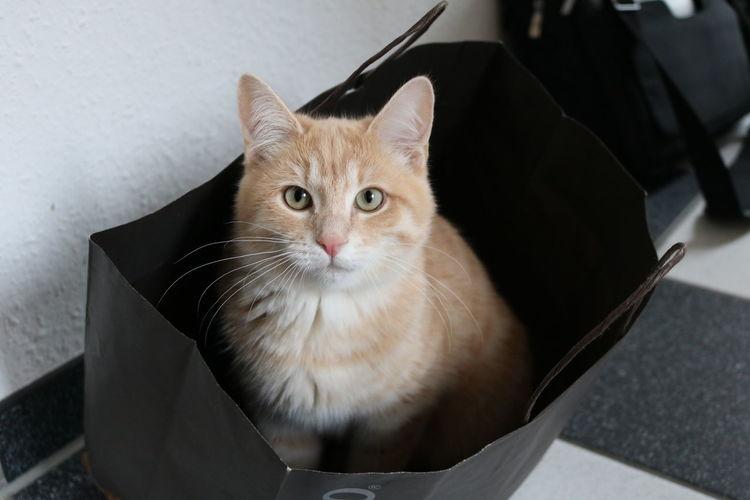 Cute Ginger Cat Looking At Camera