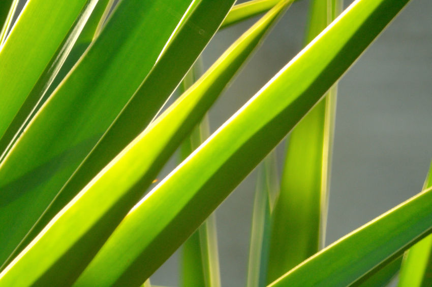 Yucca Beauty In Nature Close-up Day Frond Green Color Growth Leaf Nature No People Outdoors Palm Leaf Palm Tree Plant Tree Yuccaplant