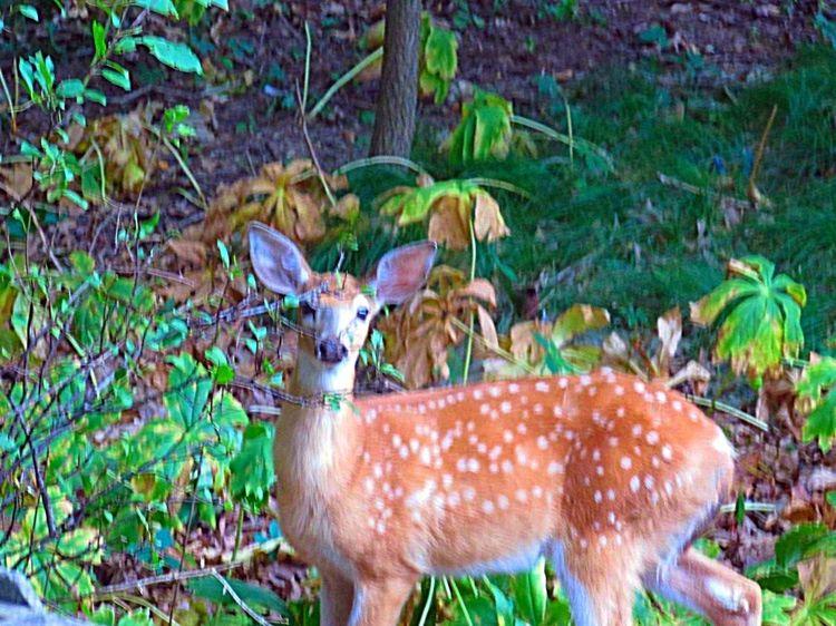 EyeEm Nature Lover In My Backyard Deer Fawn Yearling Enjoying Nature Animal Love Michigan United States Pure Michigan