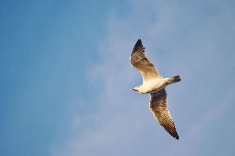 300mm Nikon Seagull Bird Bird Photography Portugal Nature Animals In The Wild Animal Themes Animal Animal Wildlife Flying Vertebrate Bird One Animal Spread Wings Sky Blue Mid-air Low Angle View No People Nature Clear Sky Motion Day Outdoors