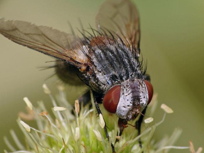 Brachycera - Serchio river Insect Macro  Insecta Animal Eye Animal Themes Animal Wing Arthropoda Beauty In Nature Brachycera Close-up Diptera Fly Hexapoda Insect Insect Close-up Invertebrate Nature