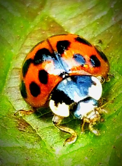 Ladybirds 🐞 Walking Around Nature Photography EyeEm Nature Lover Macro Photography Wildlife & Nature Macro Nature eyem best shots nature_collection Macro Beauty Take At Daisy Nook National Park Manchester