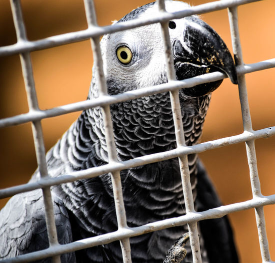 Close-Up Of African Grey Parrot In Cage