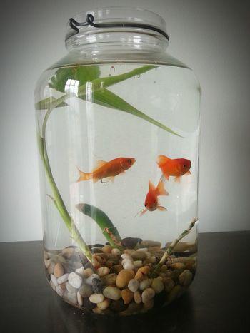 Fish Goldfish Tank Jar Water Swim Orange Bamboo Pebbles Pet