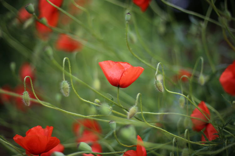 Close-up of red poppy flowers growing on plant