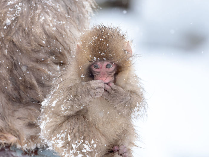 Young japanese macaque during winter