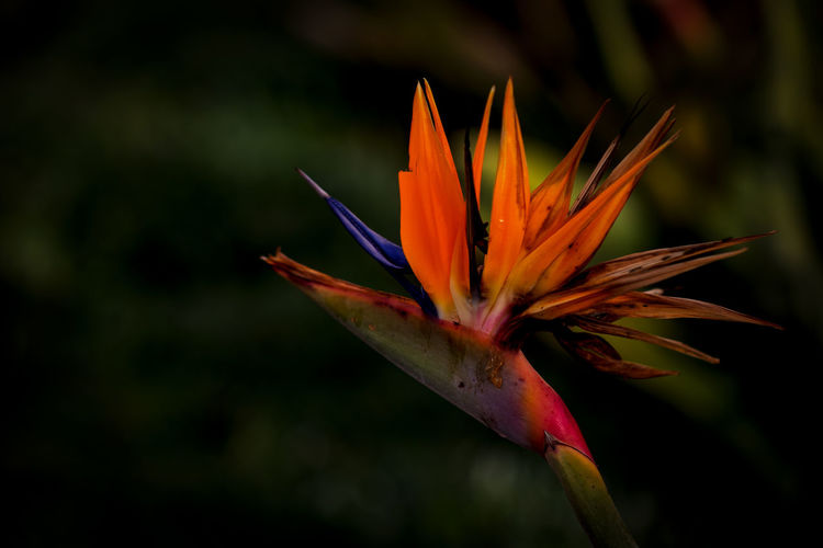 Flowering Plant Flower Fragility Vulnerability  Beauty In Nature Petal Plant Flower Head Freshness Close-up Inflorescence Growth Orange Color Focus On Foreground Bird Of Paradise - Plant Nature No People Day Botany
