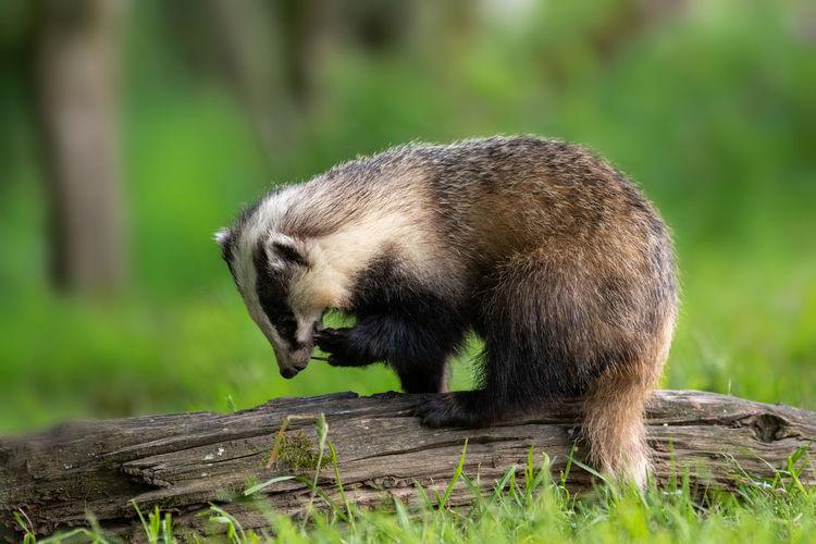 Badger foraging