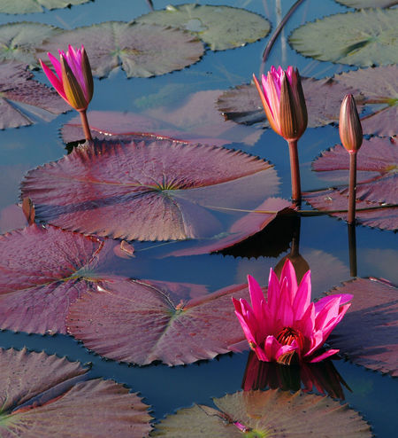 Red Lotus Water Lily Water Flower Beauty In Nature Plant Flowering Plant Vulnerability  Fragility Floating On Water Floating Pink Color Close-up Petal Lake Lily Freshness Inflorescence Nature Flower Head Lotus Water Lily No People Outdoors Red Lotus Lake INDONESIA